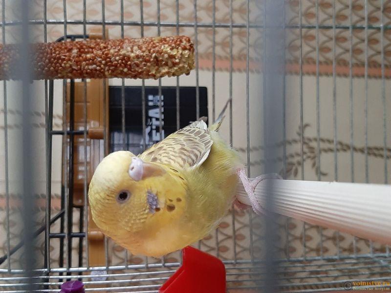 Фотографии  для статьи  окрасы волнистых попугаев - 20200226_161817.jpg