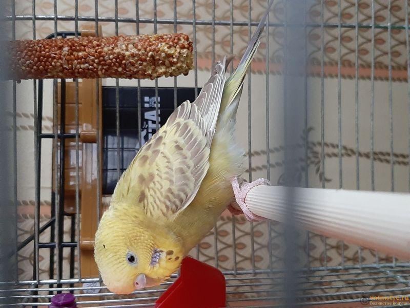 Фотографии  для статьи  окрасы волнистых попугаев - 20200226_161814.jpg