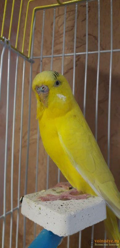 У попугая шелушится клюв и восковица - ooM2UQrIKTY.jpg