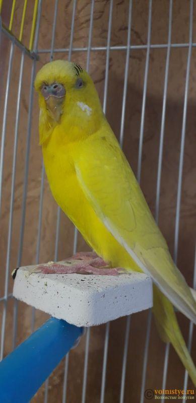 У попугая шелушится клюв и восковица - l13gBTvfQiM.jpg