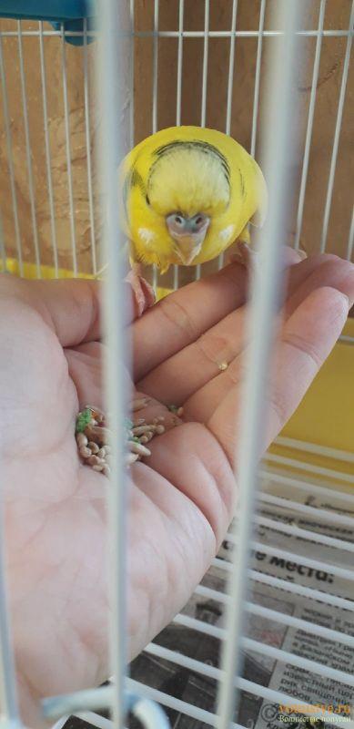 У попугая шелушится клюв и восковица - Tq5ZK3tSTQg.jpg