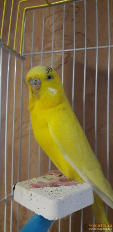У попугая шелушится клюв и восковица - C6YotzvKmmM.jpg