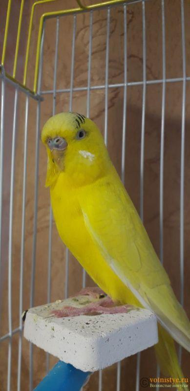 У попугая шелушится клюв и восковица - wHKKOP1VGvI.jpg
