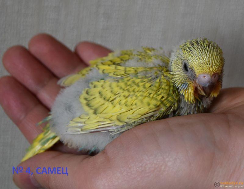 Птенцы от Джени и Михаэль, пушистая красота - № 4 самец.jpg