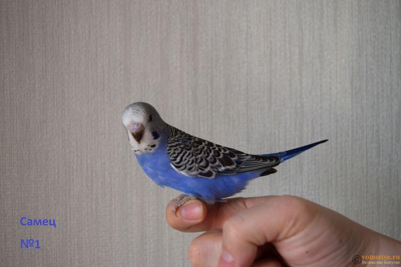 Птенцы от Джени и Михаэль, пушистая красота - Самец №1.jpg