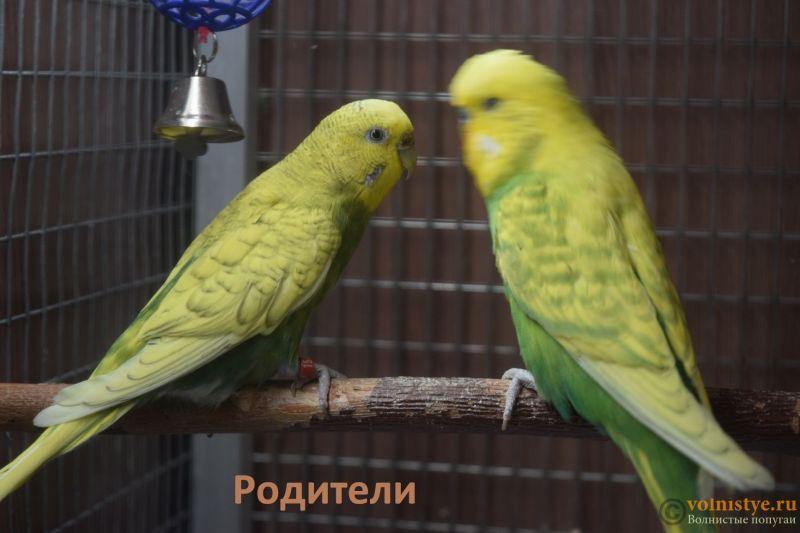 Птенцы от Джени и Михаэль, пушистая красота - род.jpg