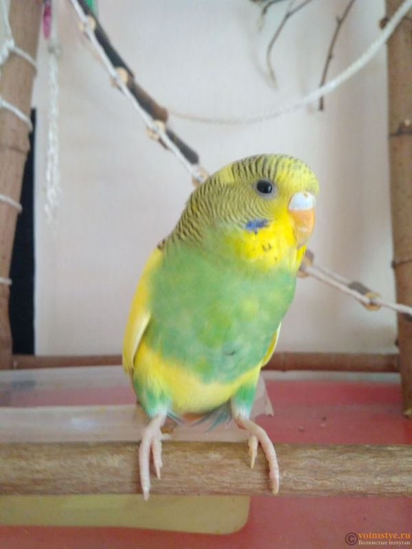 Фотографии  для статьи  окрасы волнистых попугаев - IMG_20200316_102317.jpg