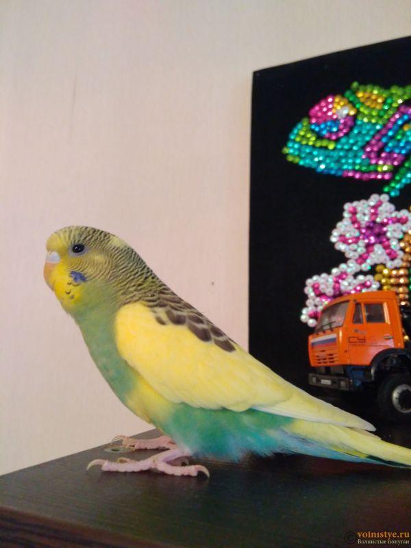 Фотографии  для статьи  окрасы волнистых попугаев - IMG_20200316_143533.jpg