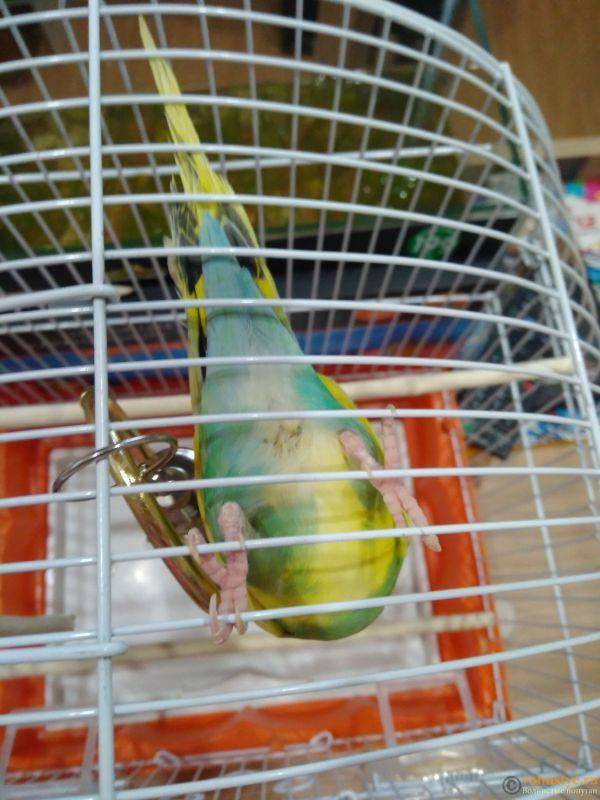 Фотографии  для статьи  окрасы волнистых попугаев - IMG_20200313_184423.jpg