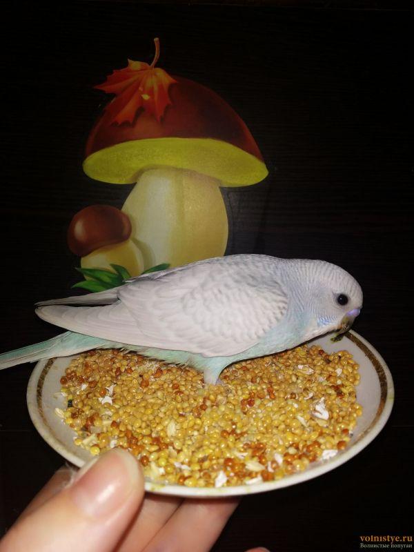 Волнистые попугаи Птенцы -Мытищи - IMG_20200406_165038.jpg