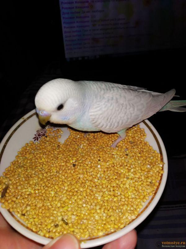 Волнистые попугаи Птенцы -Мытищи - IMG_20200413_152023.jpg