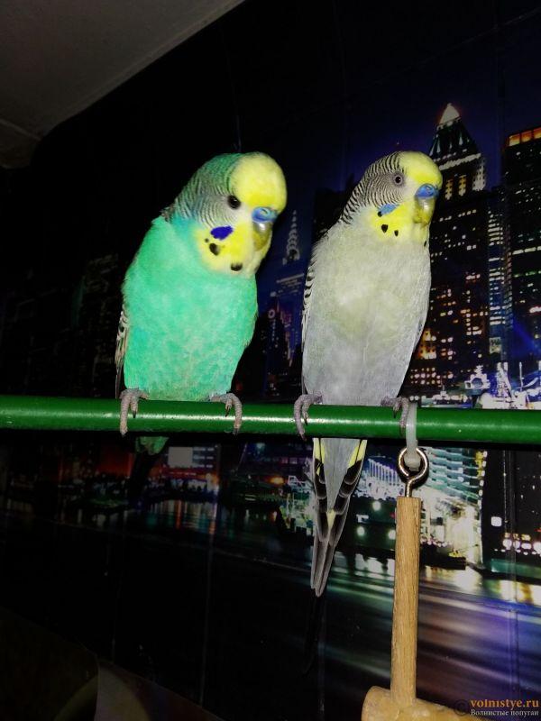 Волнистые попугаи Птенцы -Мытищи - IMG_20200417_145707.jpg