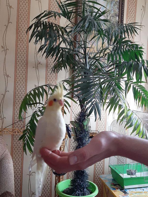 Определение пола и возраста попугаев корелла - 20200418_175127.jpg