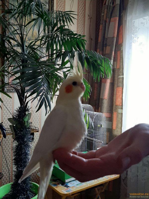 Определение пола и возраста попугаев корелла - 20200418_175132.jpg