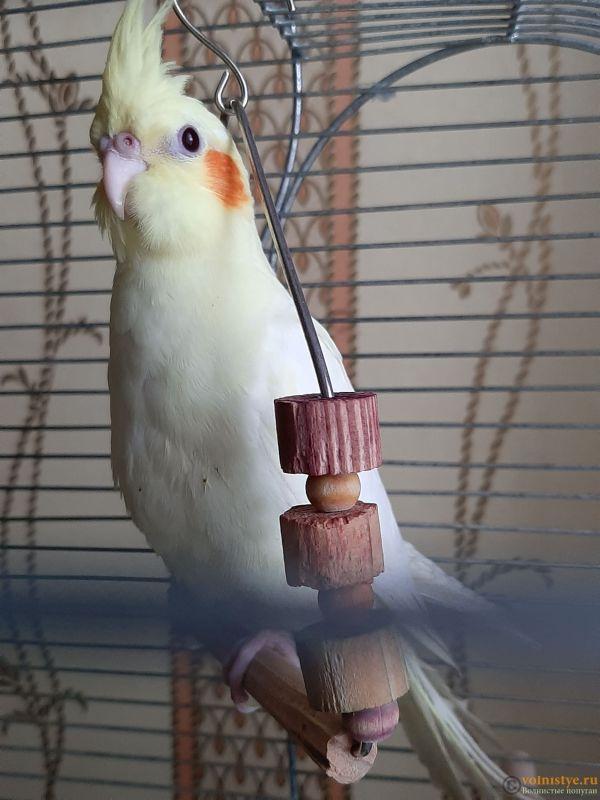 Определение пола и возраста попугаев корелла - 20200418_170552.jpg