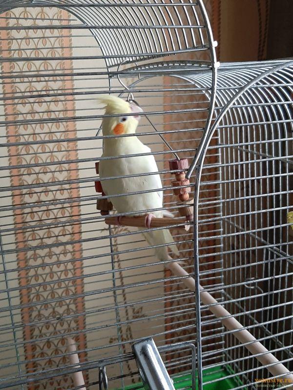 Определение пола и возраста попугаев корелла - 20200418_170537.jpg